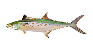 Spanish Mackeral